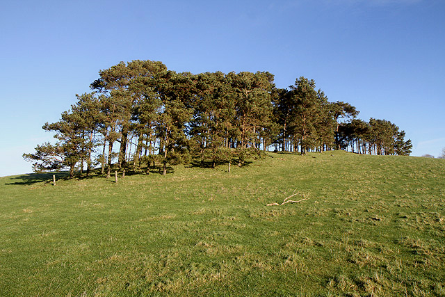 Scots pine trees on Crumhaugh Hill