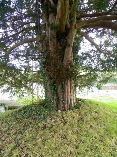 Yew tree, Homington