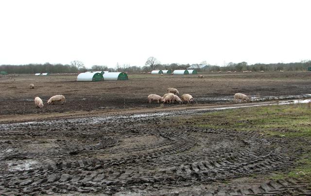 A large field of free-range pigs, Waldringfield