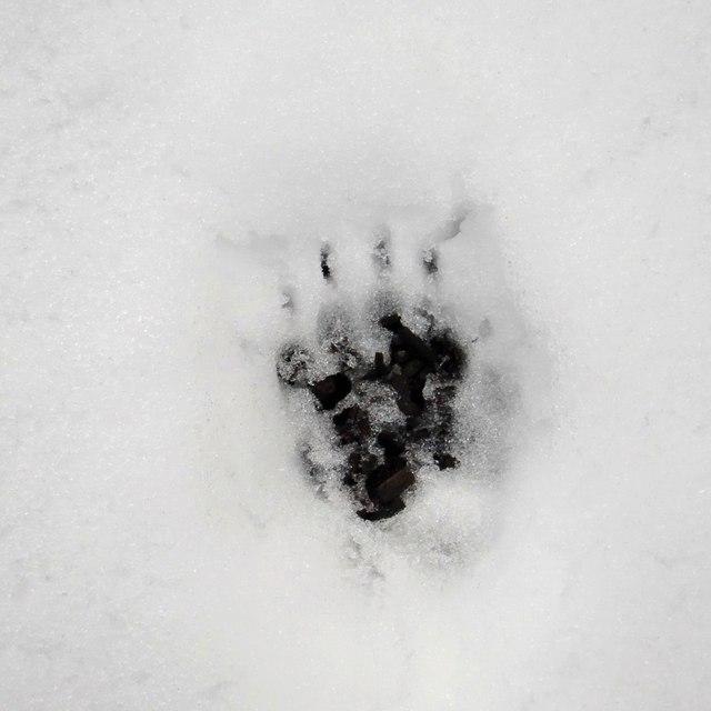 Badger footprint in snow