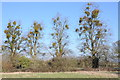 SO7609 : Mistletoe on trees by Philip Halling