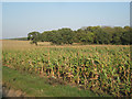 SP1363 : Oaks and maize near Foreign Park by Robin Stott