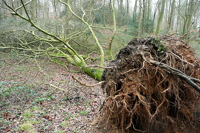 Tree in Sunter's Wood
