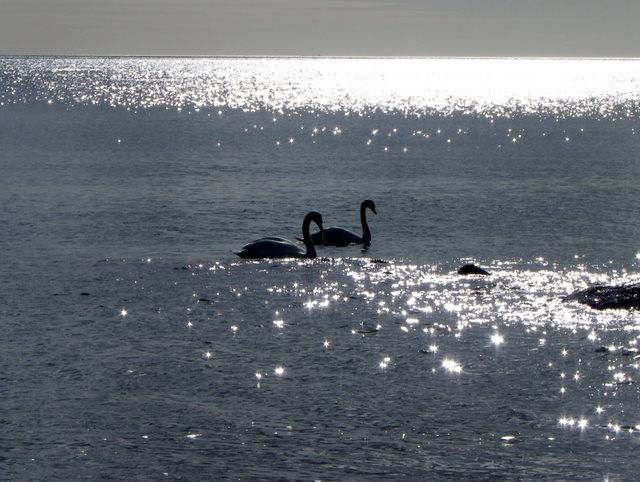 Swans at Mudeford