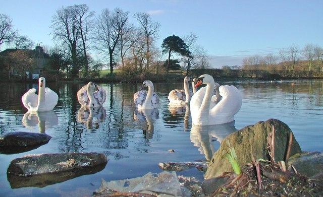 Mute Swans at Glendevon Pond