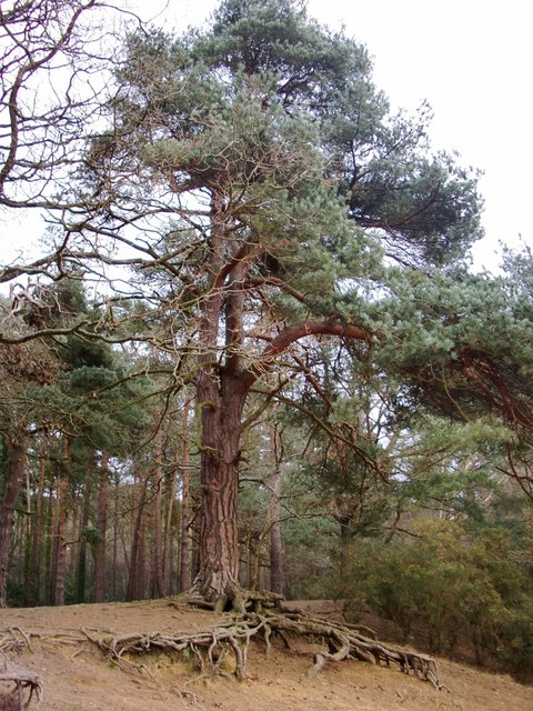 Pine woods, Oxshott Heath