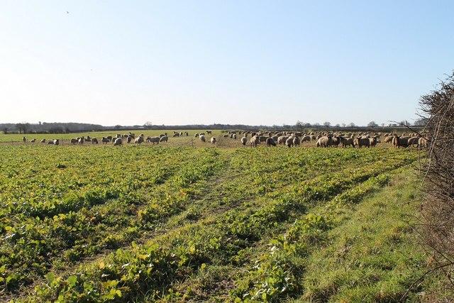 Sheep in crop field