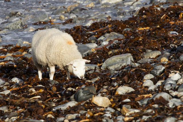 Shetland sheep feeding on seaweed on Westing beach