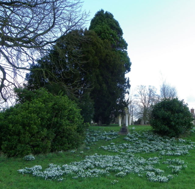 Snowdrops, St Gregory's Churchyard