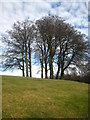 ST3808 : A stand of beech trees on Cricket St Thomas Estate by Rod Allday