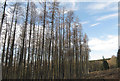SE5392 : Larch trees at Hazel Head Wood by Colin Grice