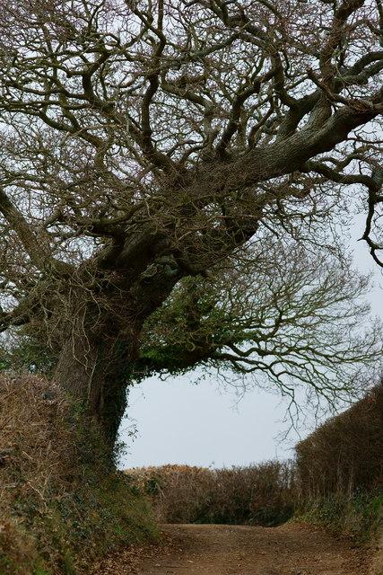 Wind-blown Trees, Alverstone, Isle of Wight