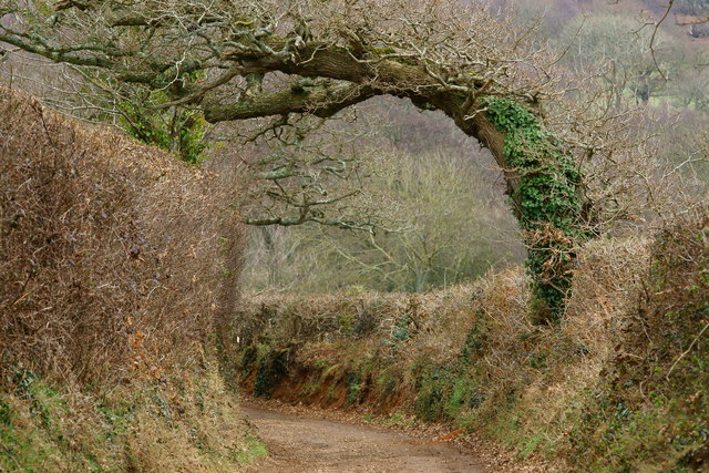 Wind-blown Tree, Alverstone, Isle of Wight