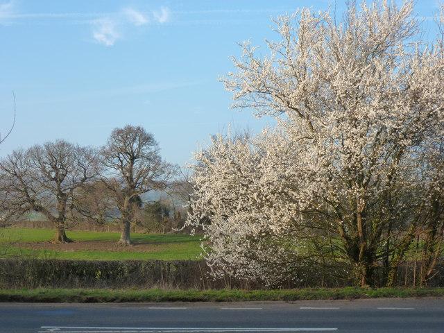 Springtime blossom on the A48 near Llanvaches