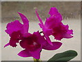 TQ0658 : Purple Orchids by Colin Smith