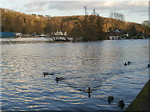 SU7682 : Ducks on the river at Henley-on-Thames by Peter S