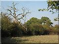 SP1364 : Dead oak in a thicket by Robin Stott