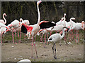 SO7104 : Greater Flamingos at Slimbridge by David Dixon