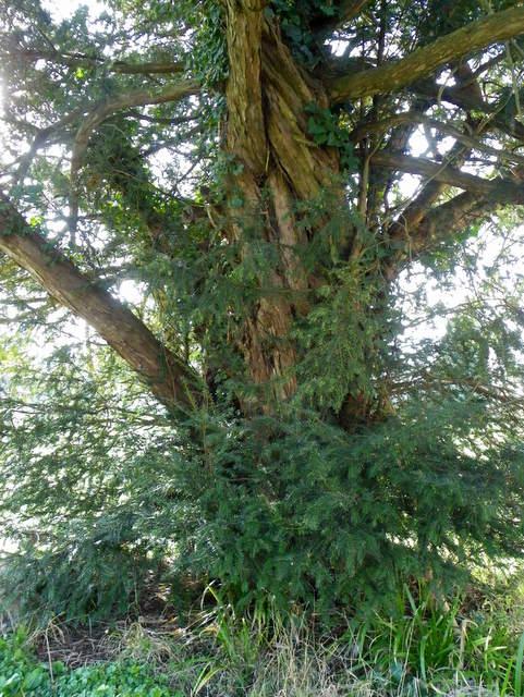 Yew tree, St Michael's Churchyard
