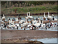 SO7204 : Slimbridge Wildfowl Reserve by David Dixon