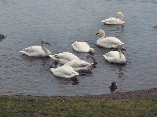 Bewick's Swans at Slimbridge