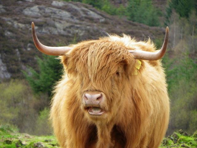 Highland cow, Glen Turret