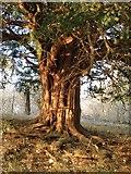 TQ1450 : Old yew tree by the Pilgrims' Way, Denbies Hillside by Stefan Czapski