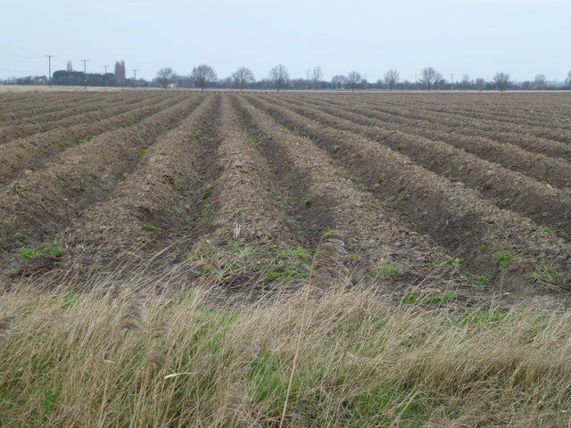 Ridges and furrows east of Coldham