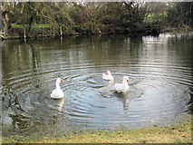 SP9013 : The Duck Pond at Wilstone Great Farm by Chris Reynolds