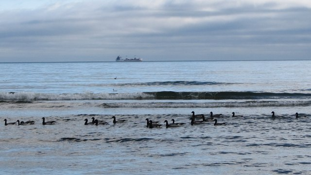 Geese swimming in the sea off Newcastle