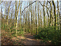 SP9207 : Soaring beeches in Drayton Wood by Rob Farrow