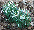 SP9307 : Clump of Snowdrops (Galanthus nivalis) by Rob Farrow