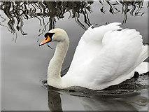 SD7908 : Mute Swan by David Dixon