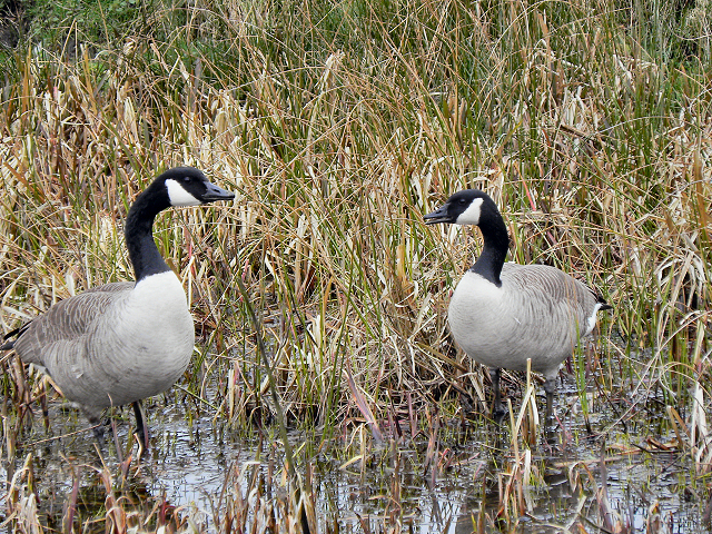 Canada Geese, Manchester, Bolton and Bury Canal
