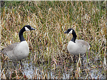 SD7908 : Canada Geese, Manchester, Bolton and Bury Canal by David Dixon
