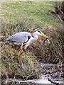 TQ1873 : Poor old frog! - Heron at Bishop's Lodge Pond, Richmond Park by Stefan Czapski