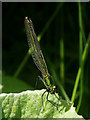SD5307 : Damsel fly by oskell summers