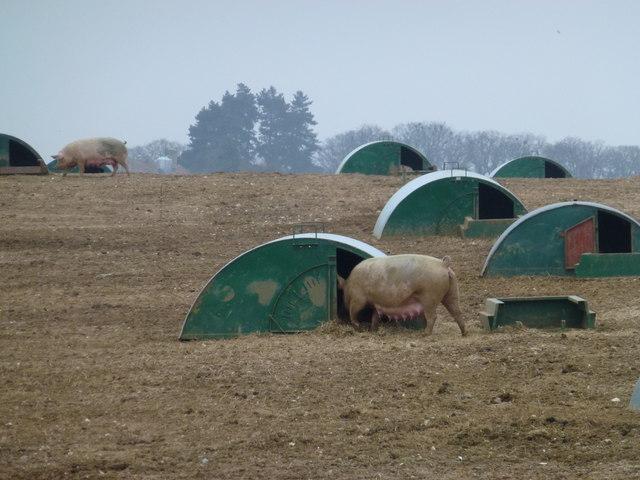 Suckling sow - Free range pigs near South Creake