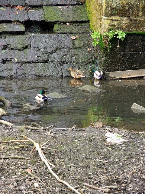 Mallards in the Weir