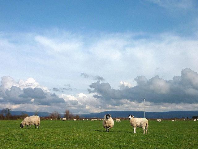 Upland sheep in a lowland field, Beech Farm