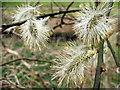 NZ3067 : Silvery Catkins by Christine Westerback