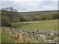 SE6797 : Sheep in Farndale by Pauline E