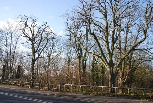 Trees on Queen's Avenue