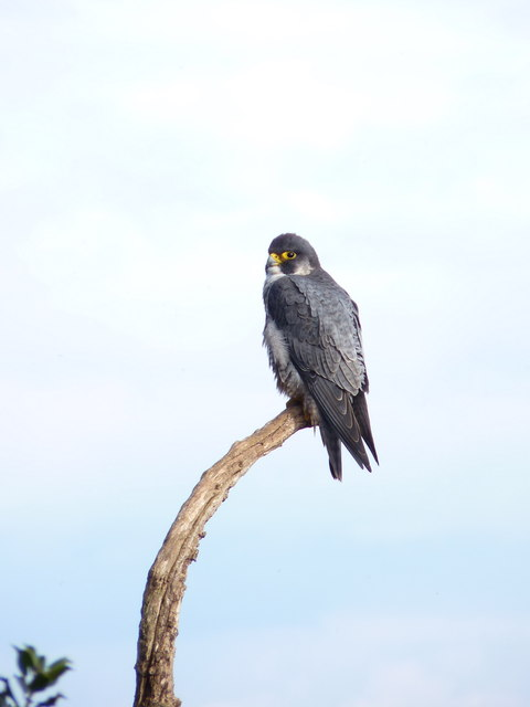 Peregrine falcon on a branch at The Floors