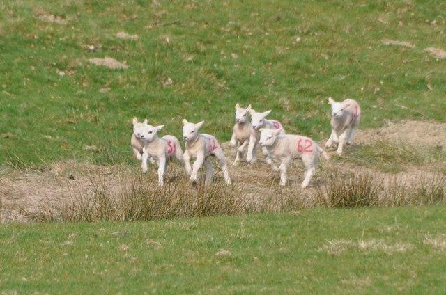 Mid Devon : Running Lambs © Lewis Clarke cc-by-sa/2 0