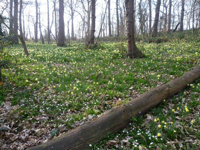 Wild daffodils in Lesnes Abbey Woods