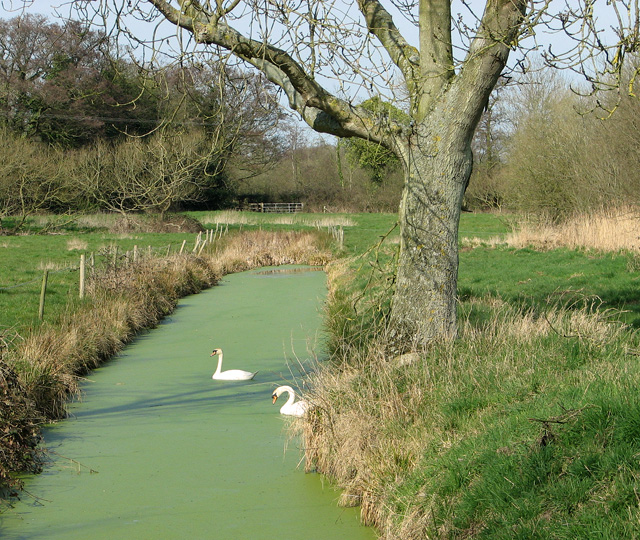 Swans in drainage ditch, Irstead