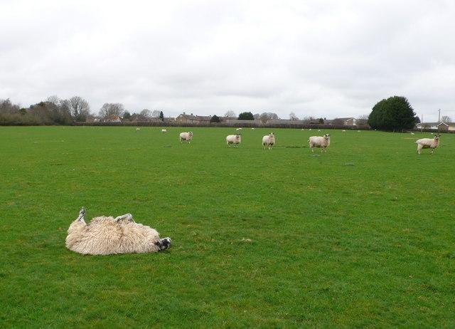 Upside Down Sheep