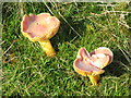 NY6070 : Mushrooms on Middle Shield Park by Mike Quinn