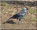 TQ2074 : Jackdaw (Corvus monedula) in Sheen Wood by Rob Farrow